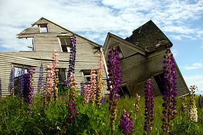 collapsing house and lupines resized 600