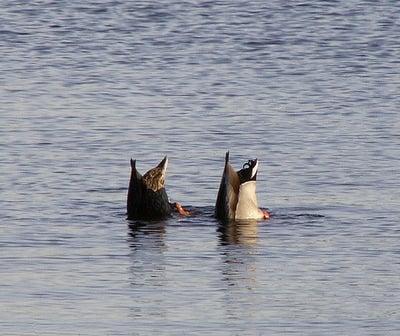 synchronized ducks