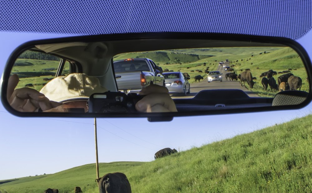 Buffalo crossing road ahead and in rear-view mirror bring tourist traffic to a standstill along road in Custer State Park, South Dakota, USA,  on a summer evening